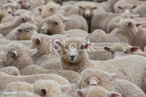 Side view of a show sheep