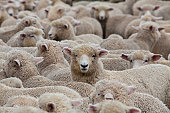 A huge heard of sheep in New Zealand about to go into the shearing shed. There are 40 million sheep in New Zealand and 4 million people! sheep out number people 10 to 1.