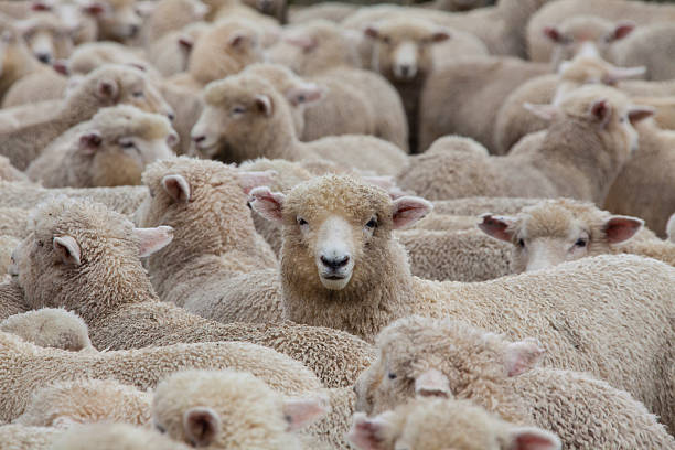 sheep herd in new zealand 2 - wool stock photos and pictures