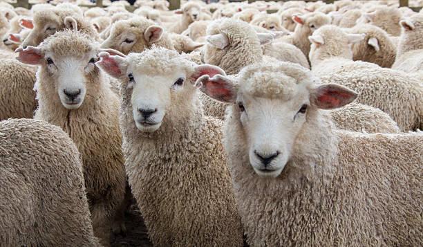 Mandria di pecore in Nuova Zelanda - foto stock