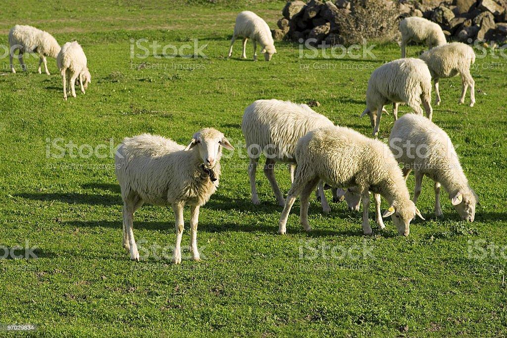 Sheep herd in Sardinia,Italy. royalty-free stock photo