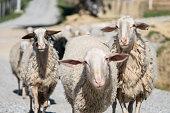 Sheep herd looking at camera