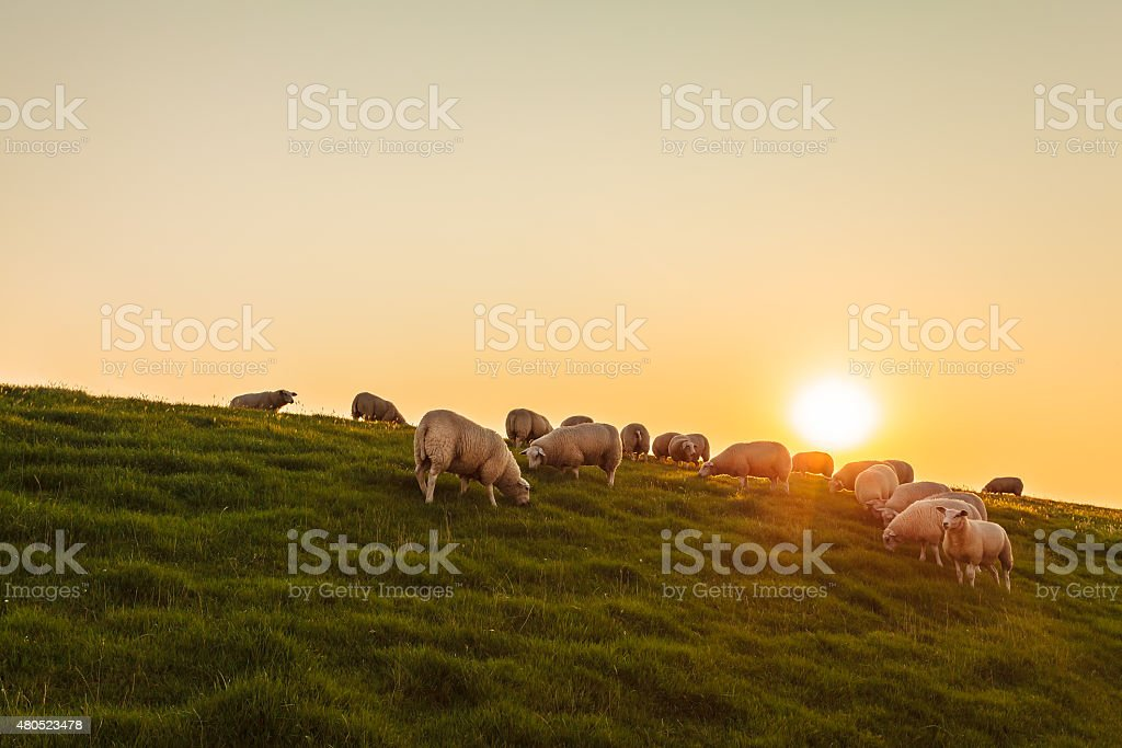 Sheep herd on a Dutch dike during sunset stock photo