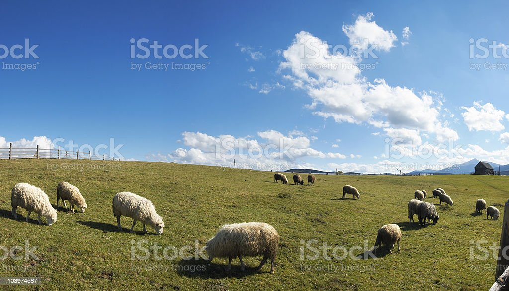 Sheep herd on plateau royalty-free stock photo