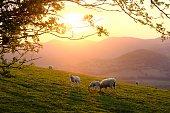 istock Sheep high above Llangollen 1249569076