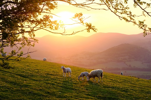 Welsh mountain sheep standing on the hills above Llangollen, North Wales, late on a warm spring evening.
