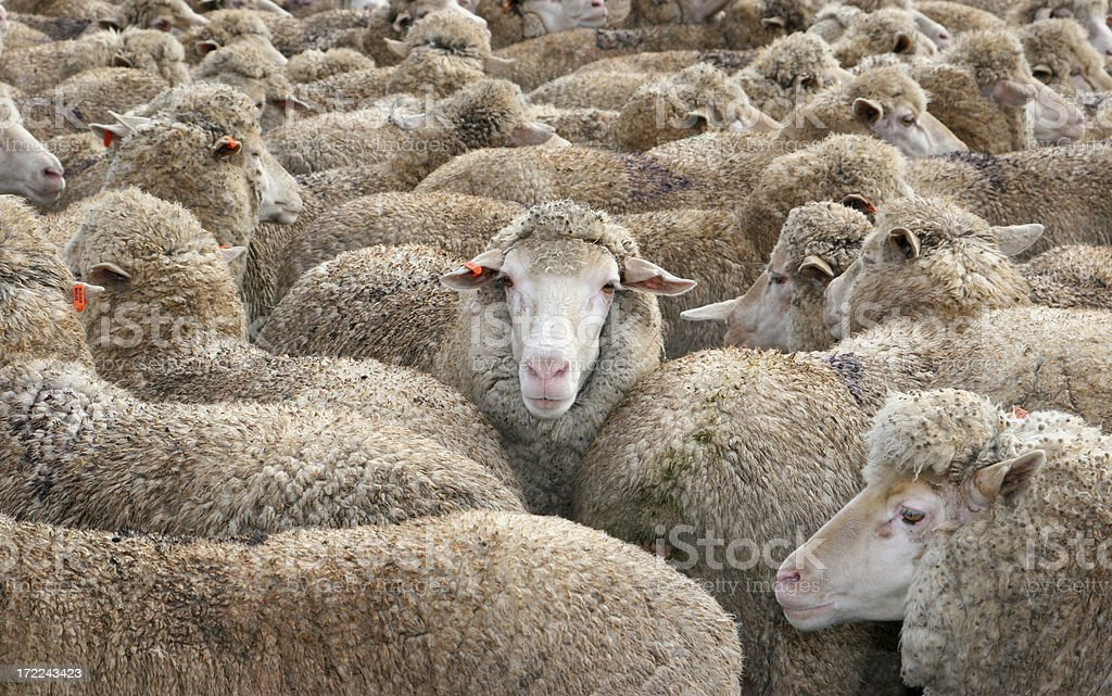 Sheep in a Crowd stock photo