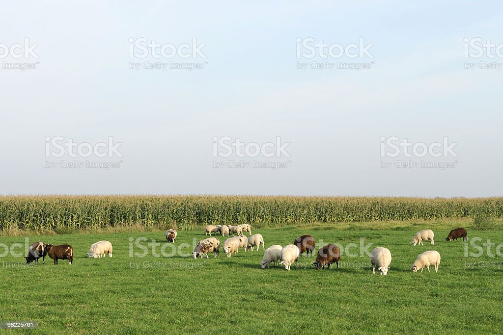 Sheep in a field royalty-free stock photo