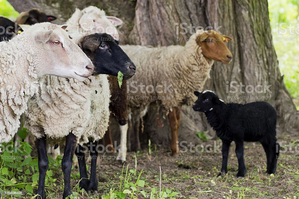 Sheep in a herd stock photo