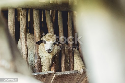 Funny sheep protruding head through the fence of an enclosed pen.