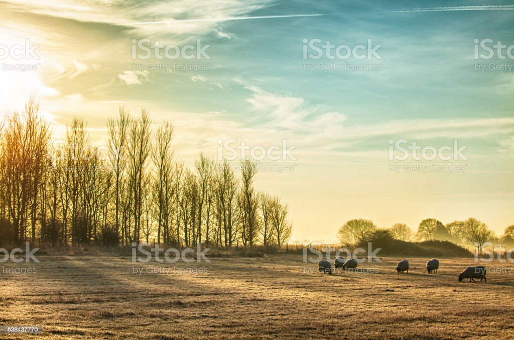 Sheep in a rural sunrise landscape stock photo