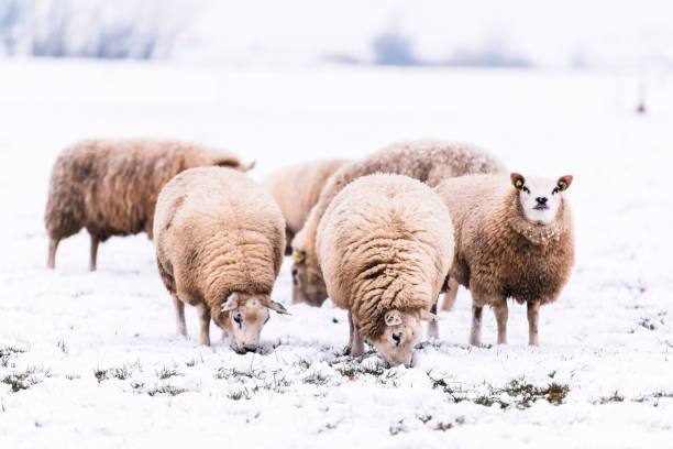 Sheep in a snow covered meadow in a winter landscape stock photo