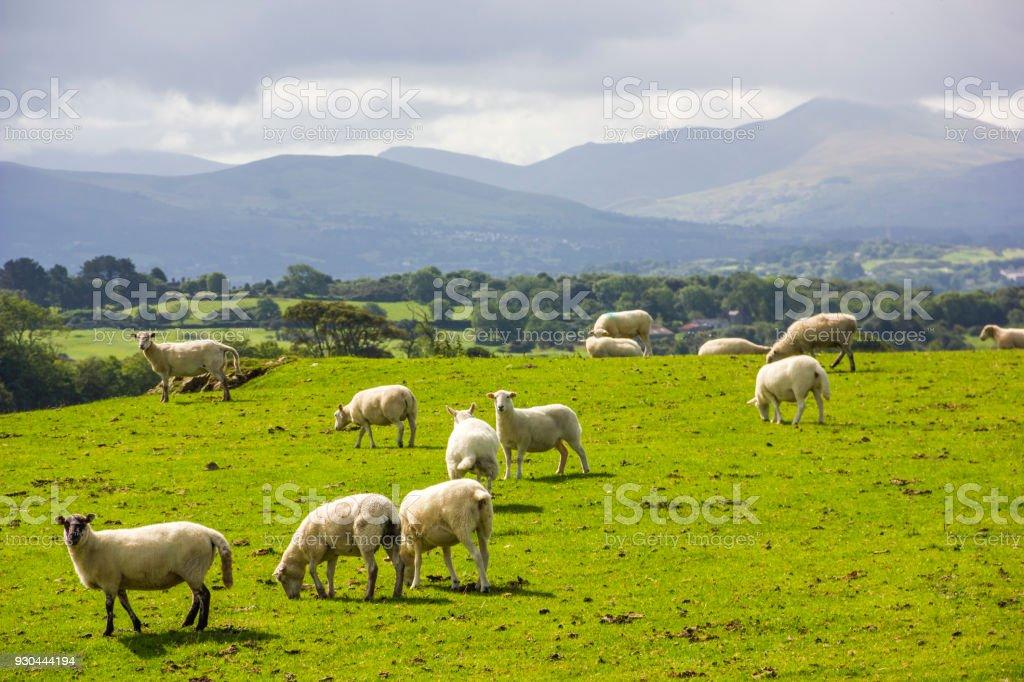 Sheep in Anglesea, Wales, UK stock photo
