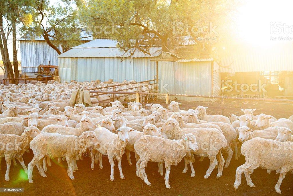 Sheep in Australia stock photo