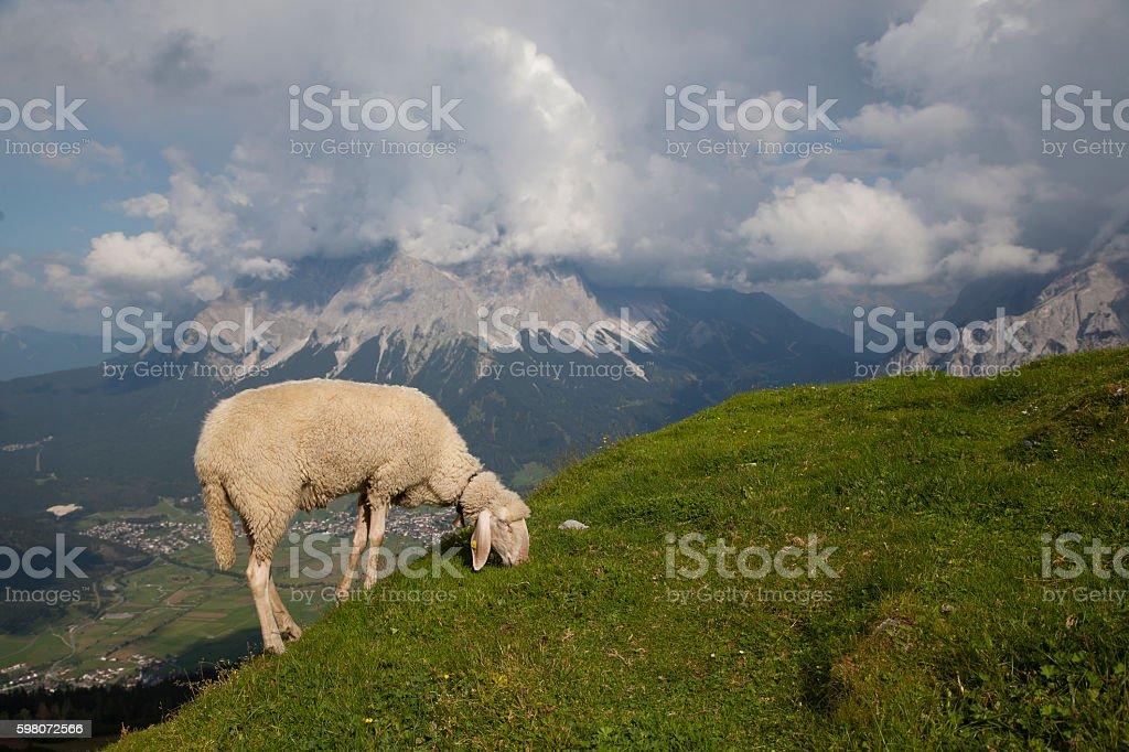 Sheep in Austrian Alps stock photo
