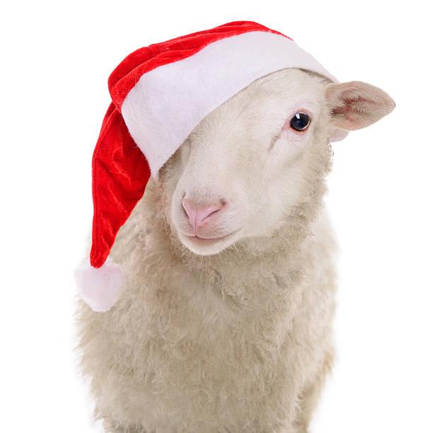 Ovejas ropa en Navidad - foto de stock