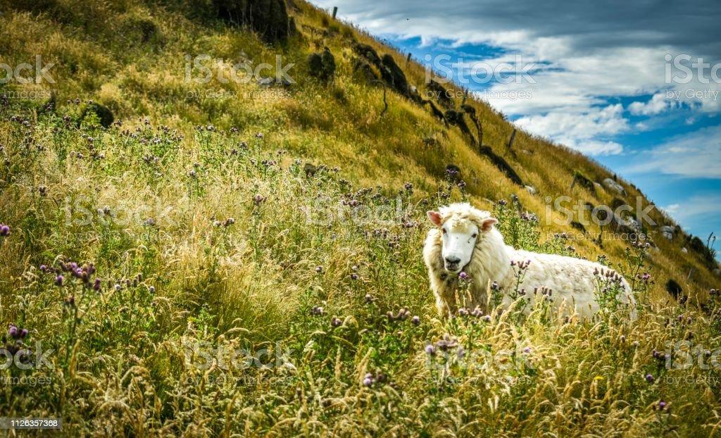 Sheep in coastal field, Otago New Zealand stock photo