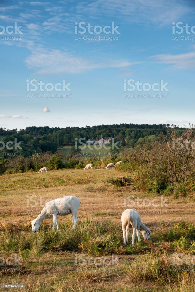 Sheep in colorful Summer landscape in English countryside of Ashdown Forest stock photo