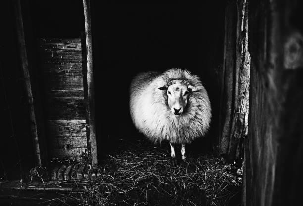 schafe in der farm - ziegenhof stock-fotos und bilder