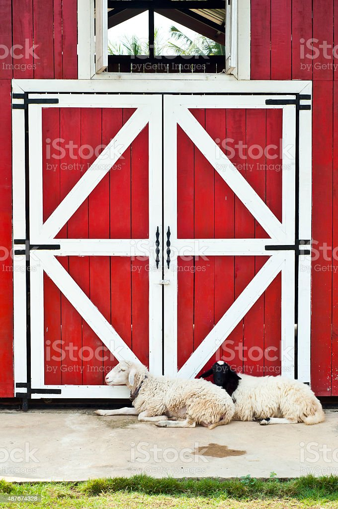 Perfect Sheep In Farm With Red Door Barn. Royalty Free Stock Photo