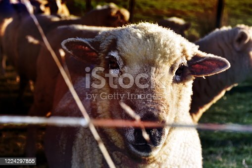 Sheep in an agricultural field towards night time.ht.
