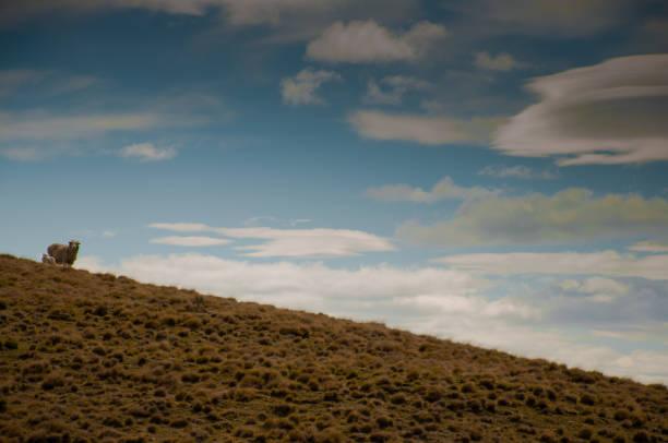 ovejas en los campos de la patagonia argentina - foto de stock