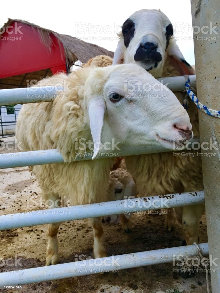 Sheep in fold, lovely and have wool stock photo