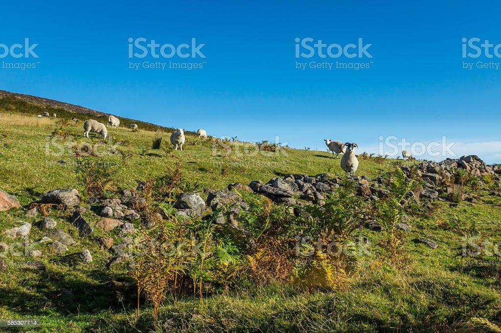 Sheep in Glen Dye stock photo