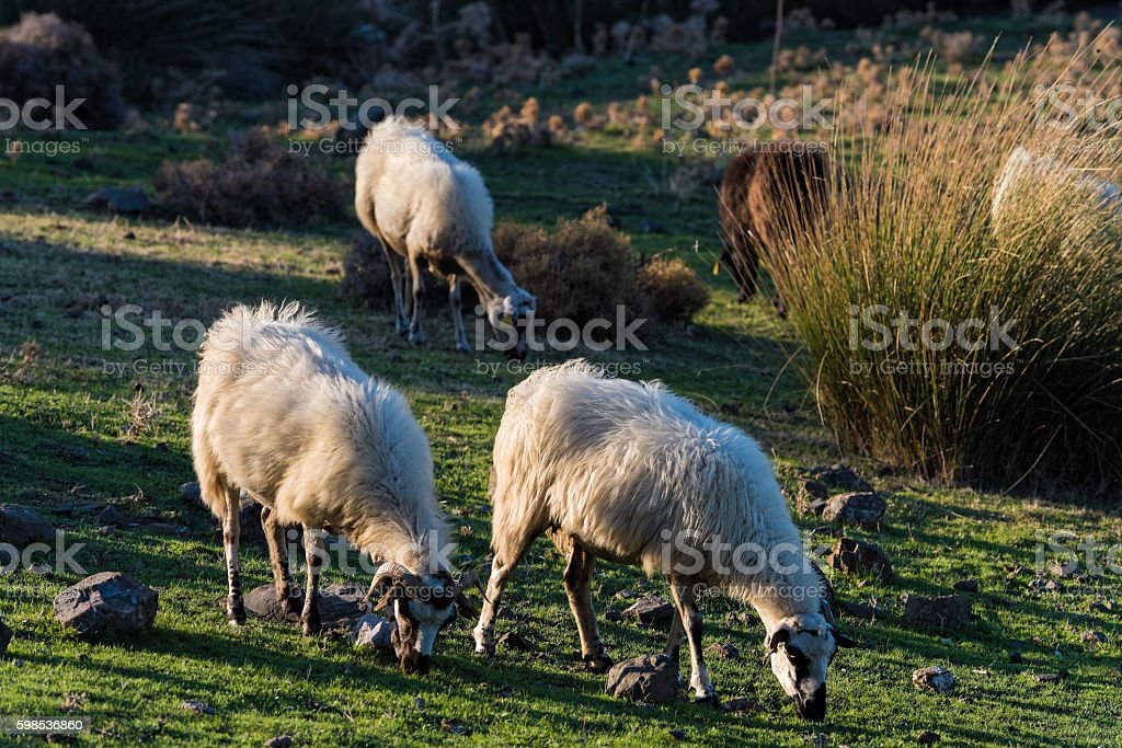 Sheep in Greece photo libre de droits