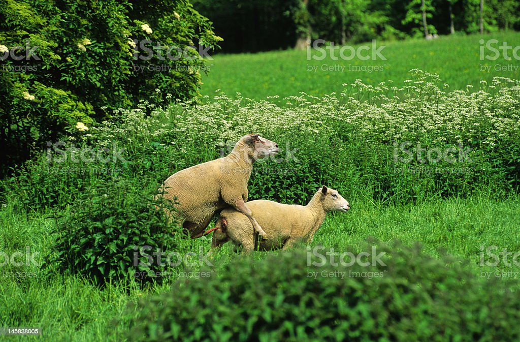 moutons amoureux stock photo