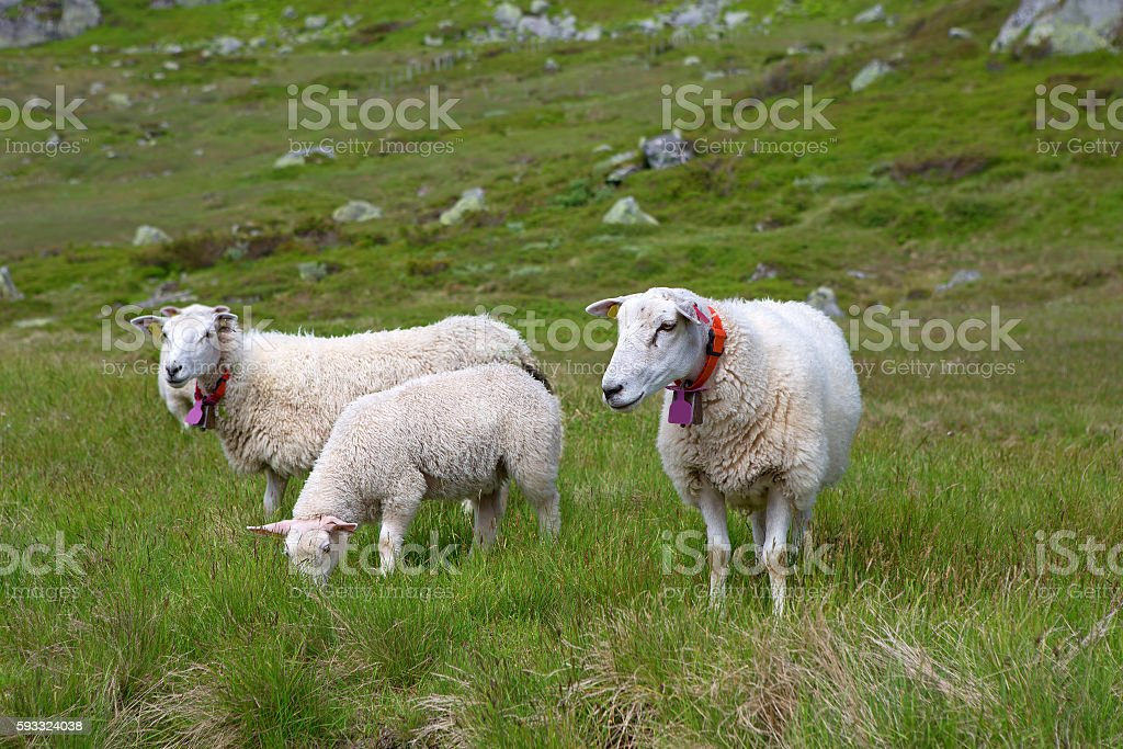 Sheep in Lysefjord stock photo