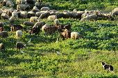 istock Sheep in Meadow 534047037