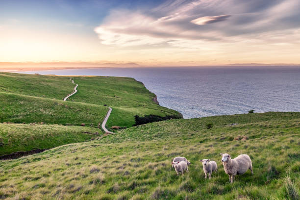 Sheep in New Zealand Landscape stock photo