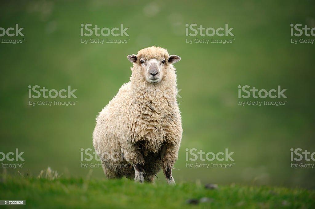 Ovejas en Nueva Zelanda - foto de stock