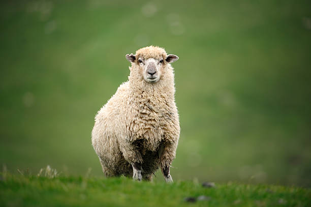 sheep in new zealand - one animal stock photos and pictures