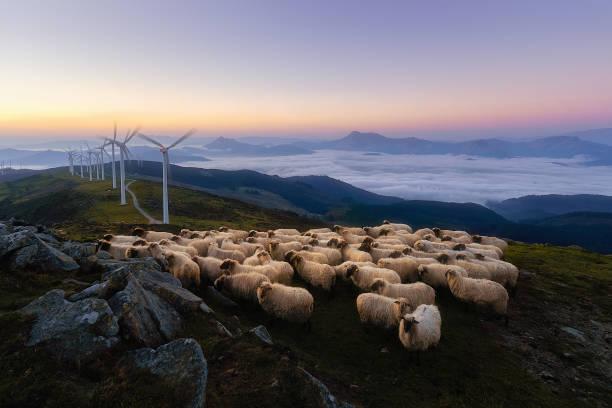 sheep in Oiz mountain near wind turbines stock photo