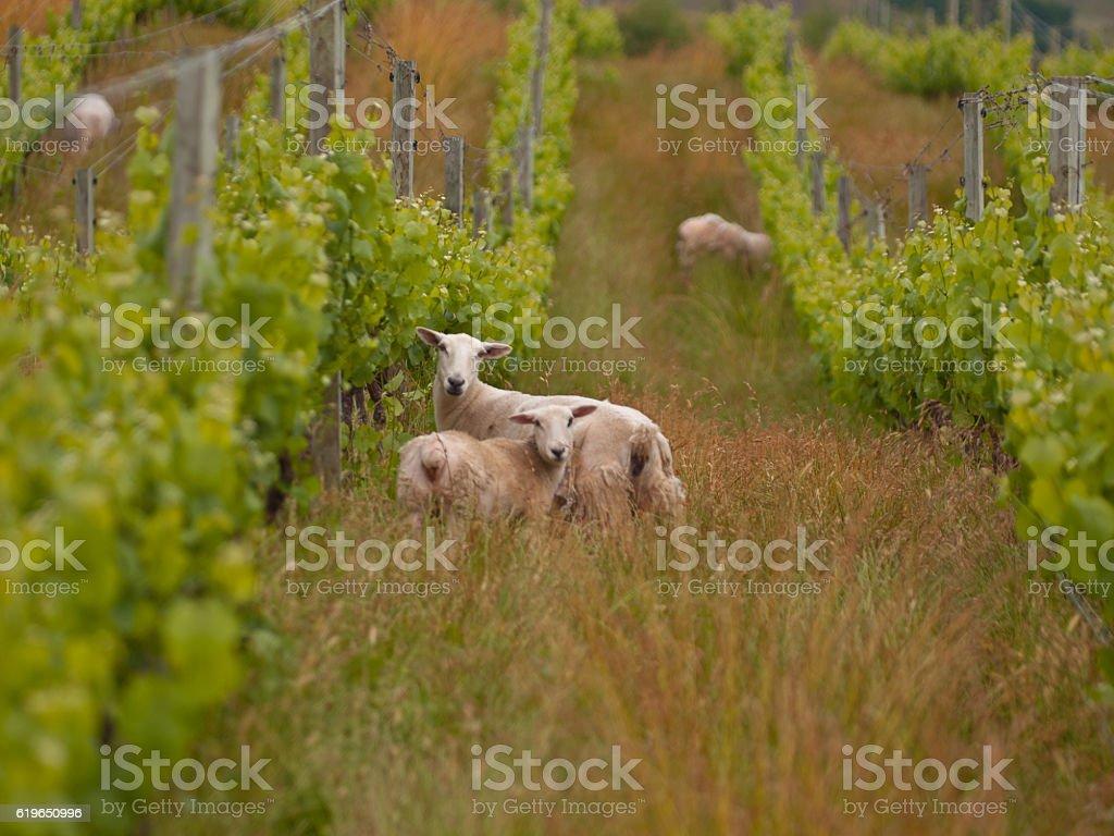 sheep in organic vineyard stock photo