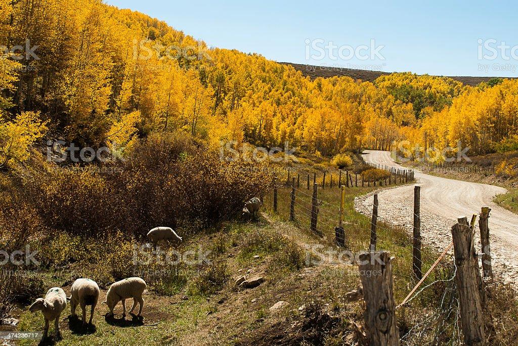 Sheep in pasture and autumn colors Markagunt Plateau Utah stock photo