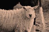 A Sheep Portrait in a Rural Scene in a Monotone effect.