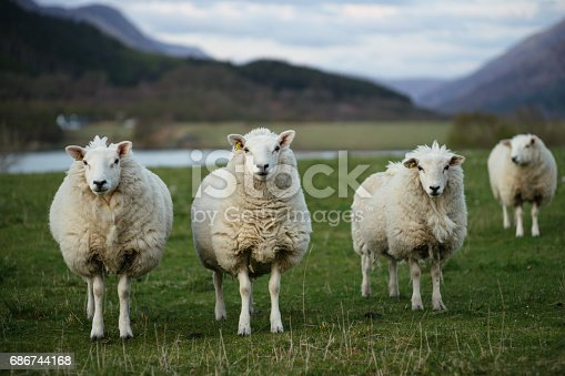 Sheep in Scotland (3)