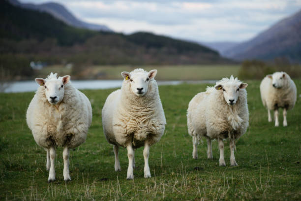 Sheep in Scotland (3) - foto stock