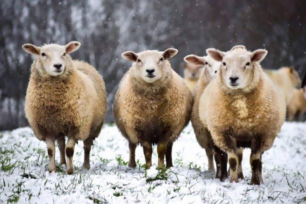 schapen in de sneeuw - schaap stockfoto's en -beelden