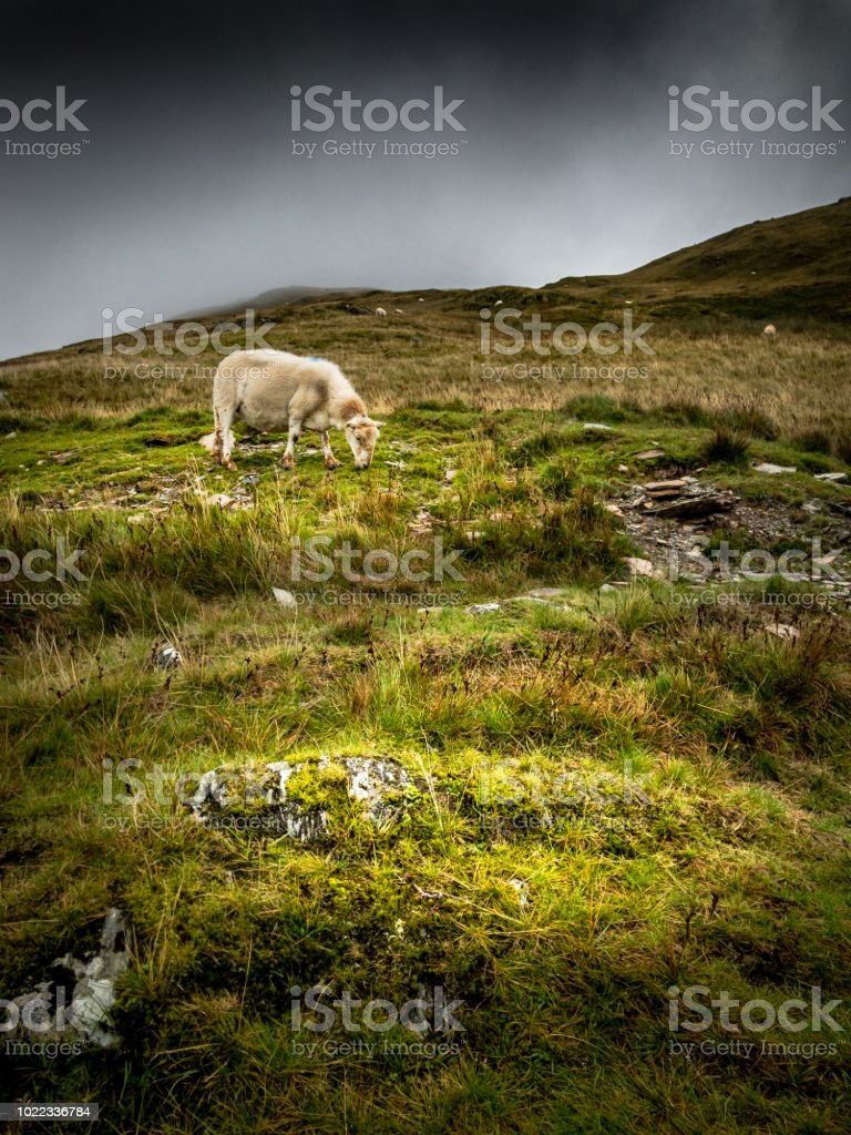 Sheep in Snowdon, Wales stock photo