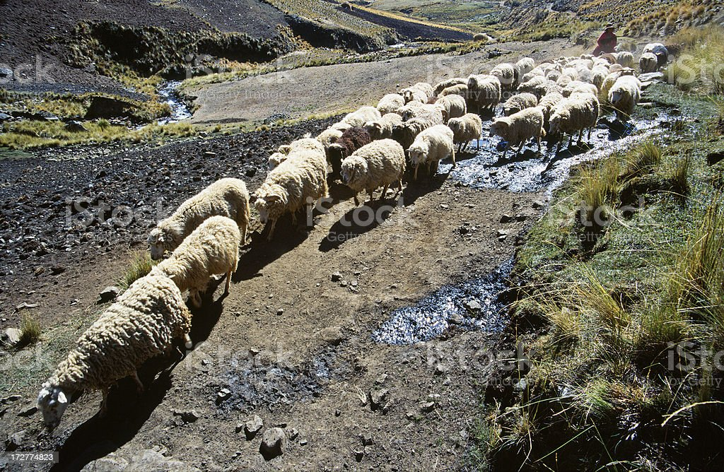 Sheep in the Cordillera Blanca royalty-free stock photo