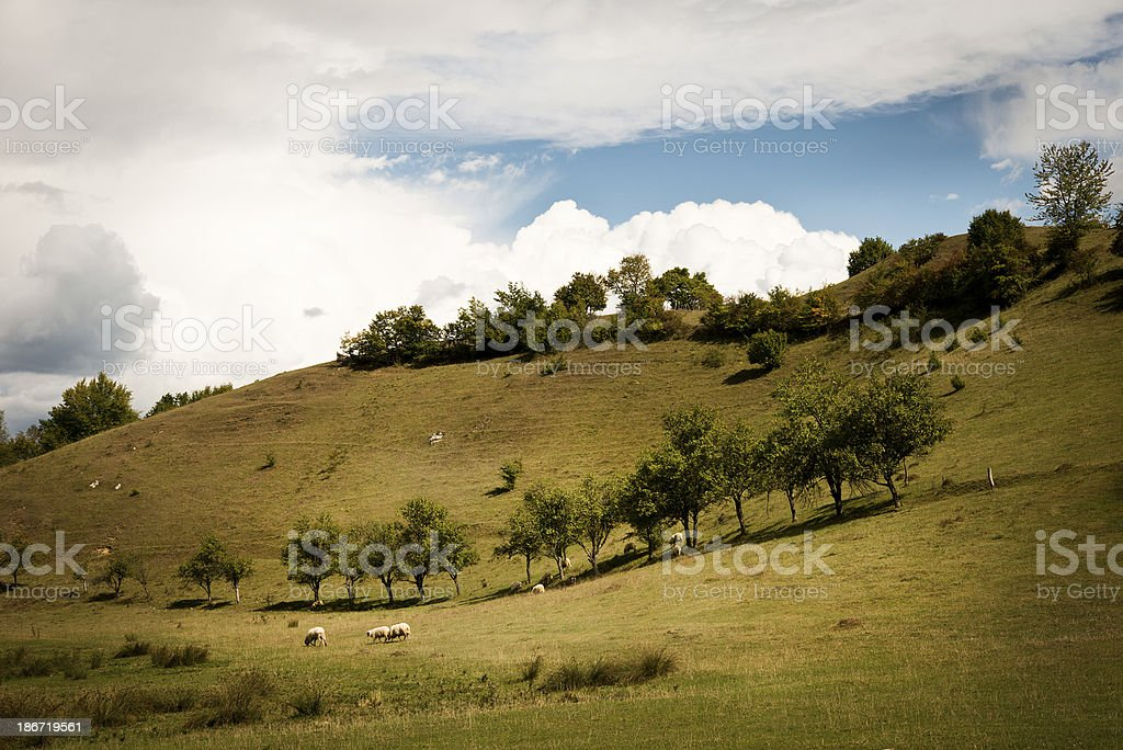 Sheep in the field royalty-free stock photo