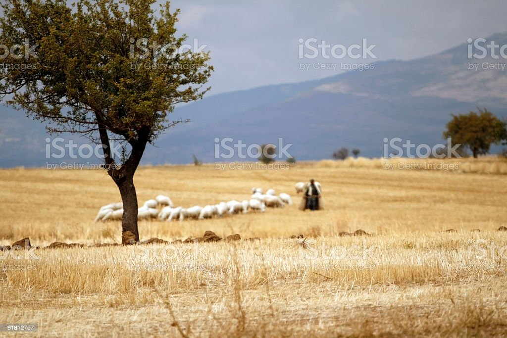 sheep in the field stock photo