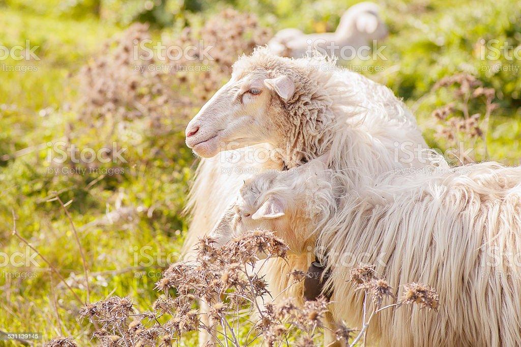 Ovelhas no primeiro plano - foto de acervo