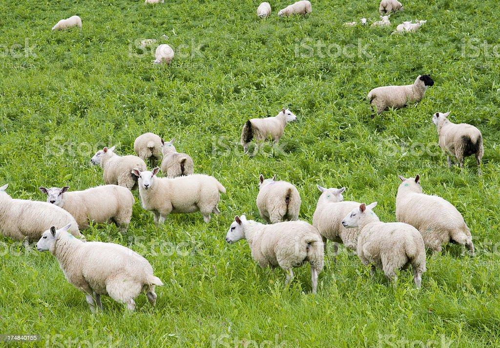 Sheep in the Irish Landscape royalty-free stock photo