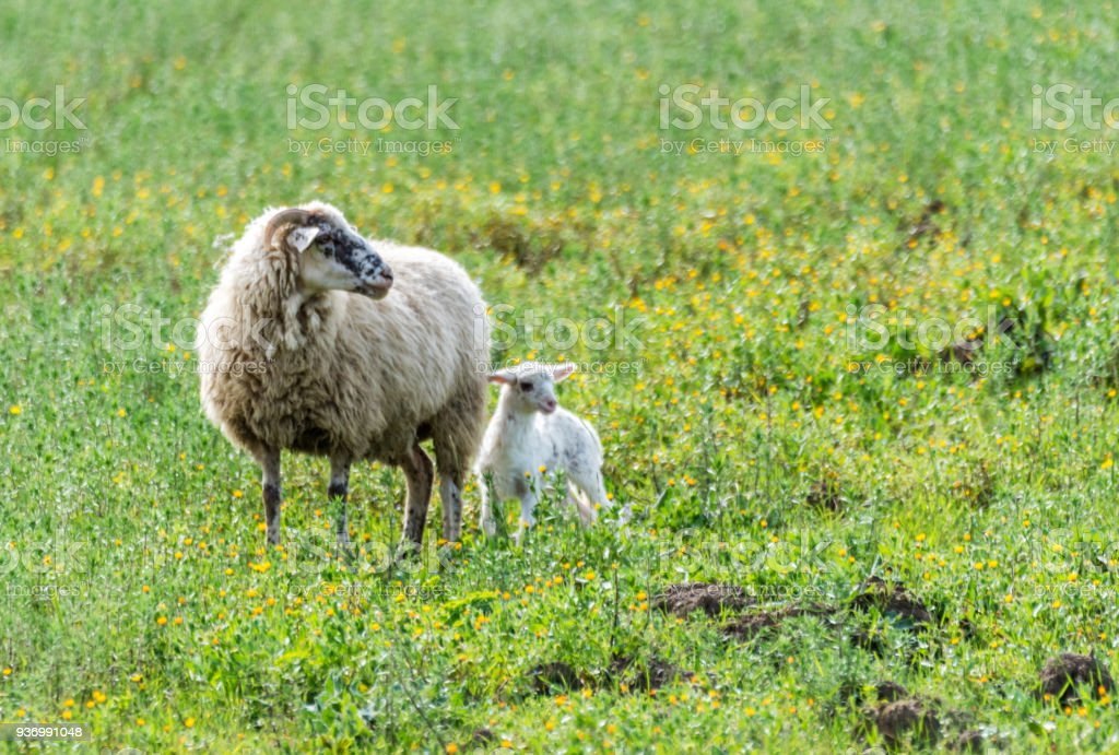 Sheep in the Italian Countryside stock photo