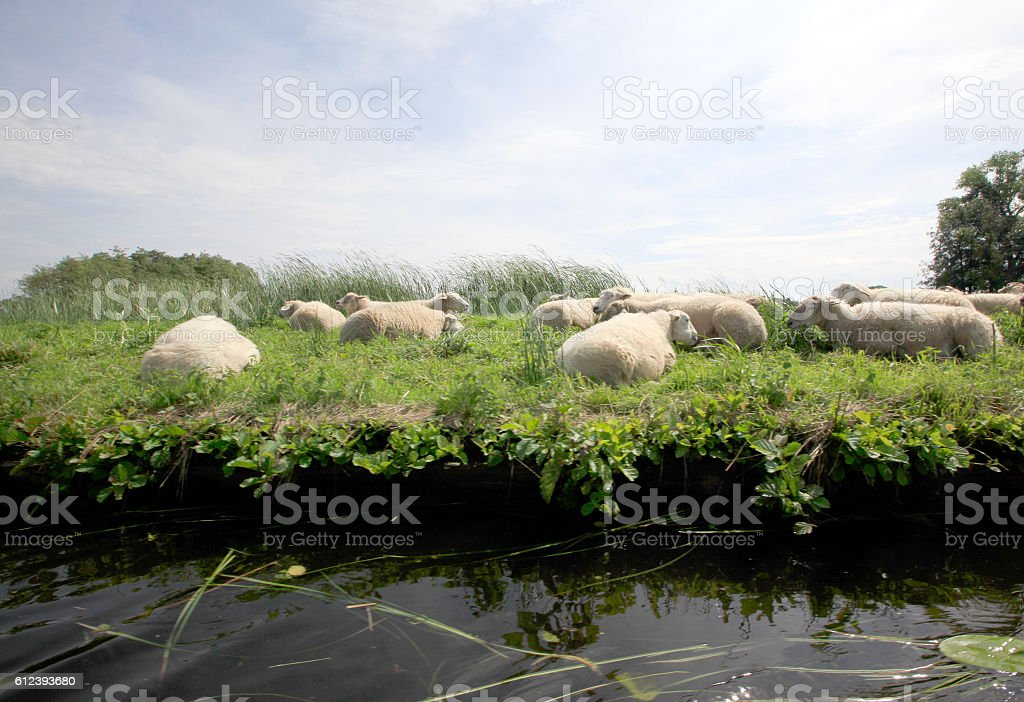 Sheep in the Meadow – Foto